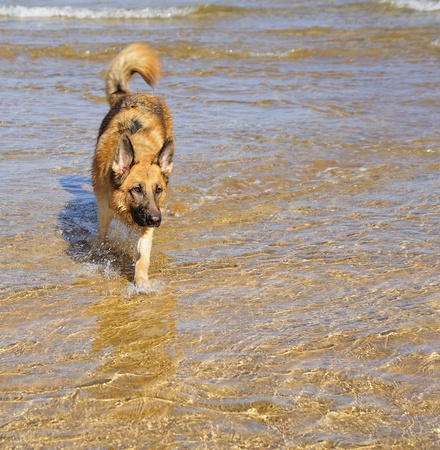 German Shepherd 28 months playing on the beach with a ball Stock Photo - 11385834