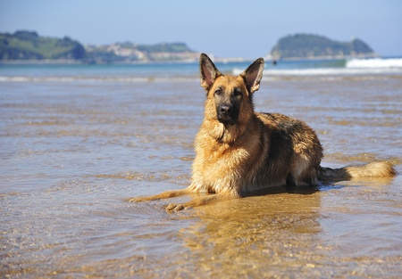 German Shepherd 28 months playing on the beach with a ball Stock Photo - 11385830