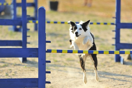 Border Collie Jumping a hurdle fence in Agility concussive Editorial