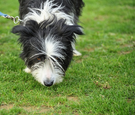 mongrel dog sniffing the grass Editorial