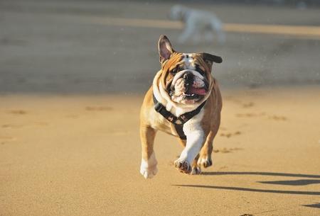 English bulldog running along the beach Editorial