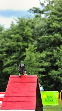 czechoslovak: Czechoslovak Pastor  in agility test of the obstacle ramp