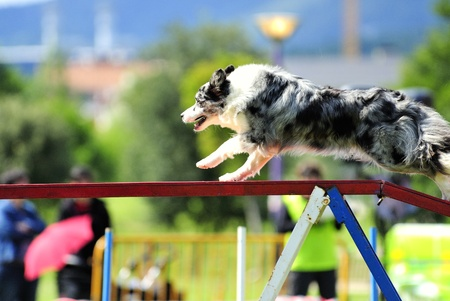 Australian Shepherd  in agility test at the gateway obstacle
