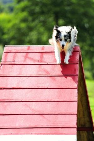 Australian Shepherd  in agility test of the obstacle ramp