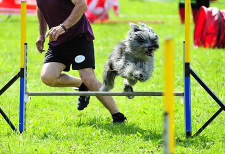 Briard in agility test in fence jumping obstacle Editorial