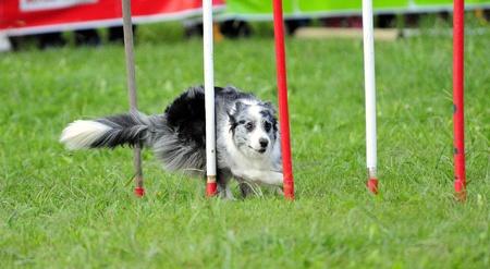 Australian Shepherd in agility test in the slalom