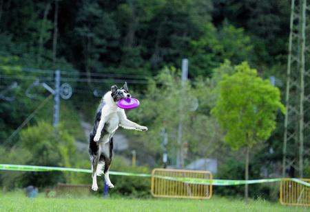 fucking: Australian shepherd jump right in fucking a frisbee