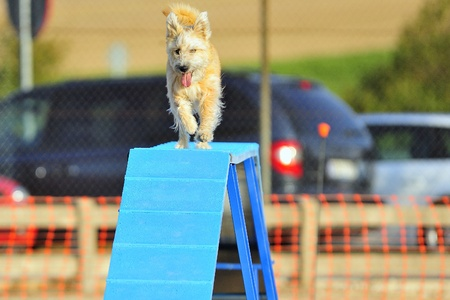 Obastaculo Terrier Gateway in a test of agility.