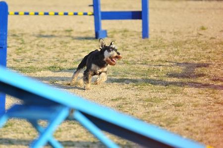 Medium Schnauzer running in an Agility test.