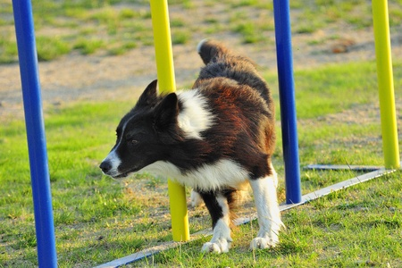 Border Collie in a slalom obstacle in a test of agility.