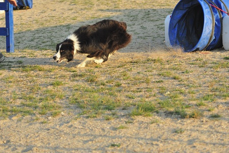 Border Collie on an obstacle in an Articulated Tunnel Agility test.