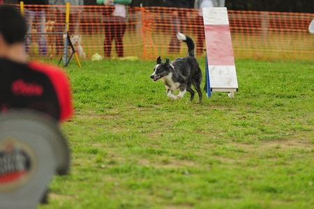 Border Collie Agility competition in Hazard Rocker