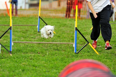 Westies Agility Competition in Hazard fence jumping