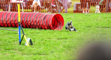 median: Median Schnauzer Agility competition in a flexible tunnel obstacle