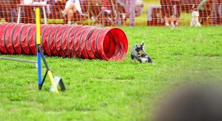 mediaan: Mediane Schnauzer Agility wedstrijd op een flexibele tunnel obstakel
