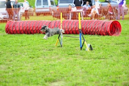 Schnauzer Agility middleweight contest on a fence jumping obstacle
