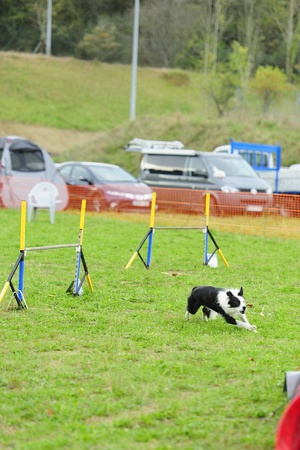 Border Collie Agility contest running