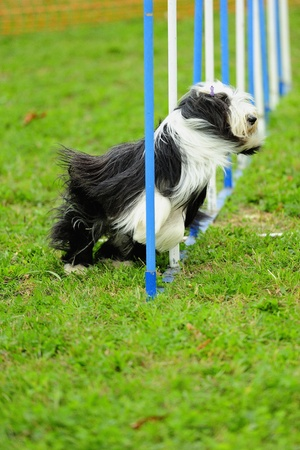 Bearded Collie in Agility competition in a slalom obstacle