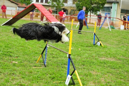 Bearded Collie in Agility competition in an obstacle to hurdle