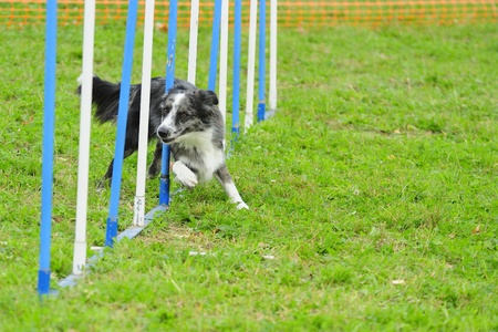 Border Collie Agility competition in Slalom Obstacle