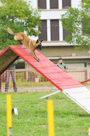 Malinois Belgian Shepherd in Agility competition in a ramp obstacle Editorial