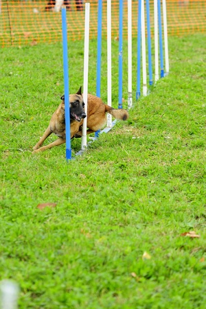Malinois Belgian Shepherd in Agility competition in a slalom obstacle