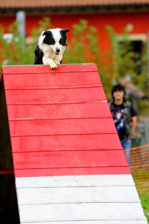 Border Collie Agility competition in a barrier of Palisade