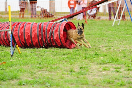 Malinois Belgian Shepherd in Agility competition in a tunnel obstacle articulated