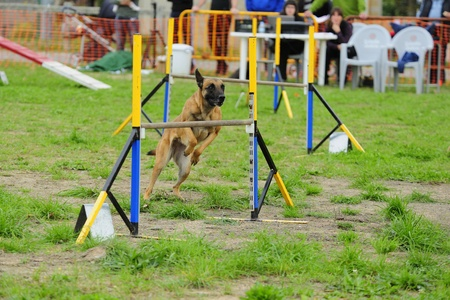 Malinois Belgian Shepherd in Agility competition in an obstacle to hurdle