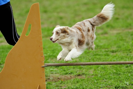 Border Collie Agility Competition in Hazard fence jumping Stock Photo - 13315649