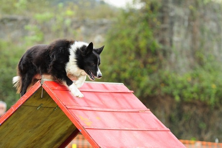 palisade: Border Collie Agility competition in a barrier of Palisade