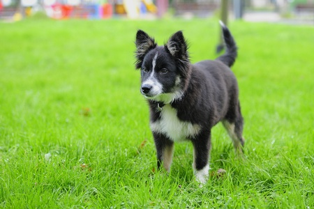 Border Collie playing in the grass