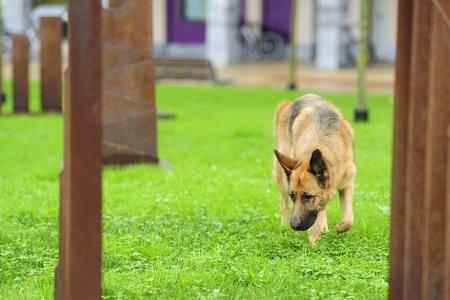 German Shepherd playing in the grass Stock Photo