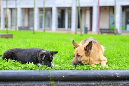 German Shepherd and Border Collie playing in the grass Stock Photo