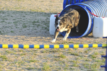 Australian Shepherd an obstacle in an Articulated Tunnel Agility test  Editorial