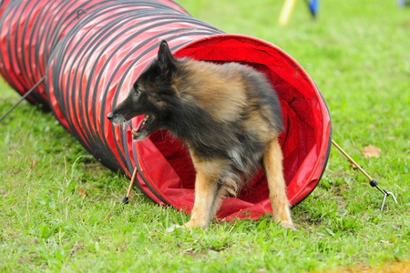 Belgian Shepherd Tervuren in competition Agility Obstacle tunnel in a jointed Editorial