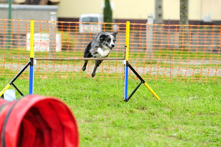Border Collie Agility Competition in Hazard fence jumping Editorial