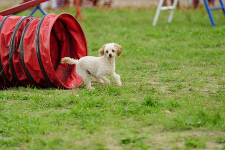 Toy Poodle in Agility competition in a tunnel obstacle of Articulated