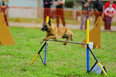 Malinois Belgian Shepherd in Agility competition in an obstacle to hurdle Stock Photo - 13558678