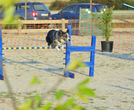 Australian shepherd jumping over a fence in a test of agility. Stock Photo