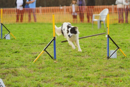 Border Collie Agility Competition in Hazard fence jumping Stock Photo