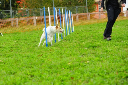 Fox Terrier in Agility competition in a slalom obstacle