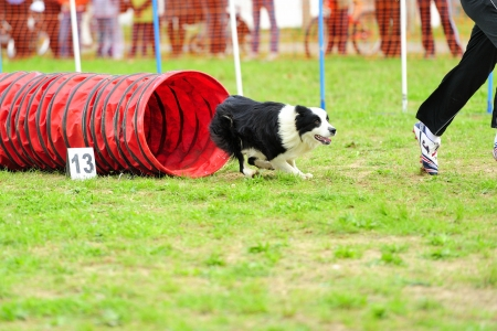 Border Collie Agility competition in a Flexible Tunnel Obstacle