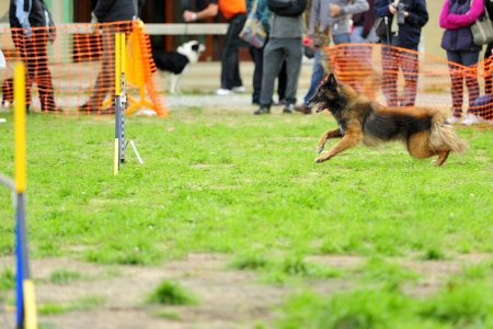 Tervueren Belgian Shepherd Agility competition in getting ready to jump Editorial