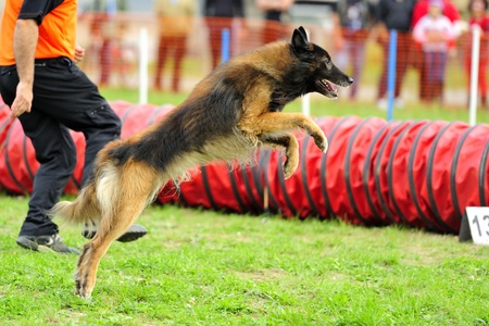 Tervueren Belgian Shepherd Agility competition starting in a jump