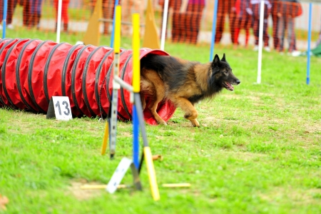 Belgian Shepherd Tervuren in competition Agility Obstacle tunnel in a jointed Stock Photo