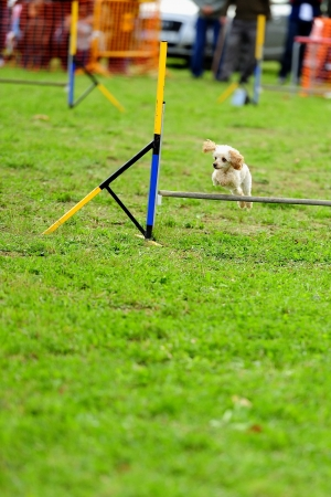 Toy Poodle in Agility competition in a fence Jumping obstacle