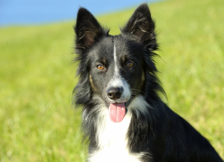 Border Collie in the field Stock Photo