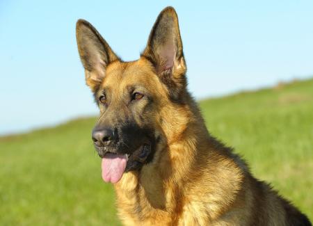 German Shepherd in the field