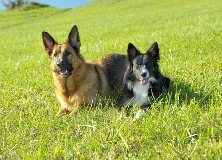 German Shepherd and Border Collie in the field
